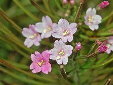 100 CINNAMON WILLOWHERB Eastern Purpleleaf Epilobium Coloratum Flower Seeds