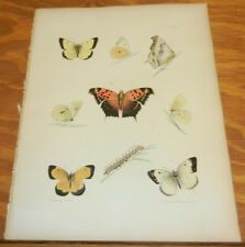 1854 Antique COLOR Insect Print/BUTTERFLY: BASTARD, MUSE, SUNNY, CATERPILLER