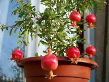 50 Pomegranate Fruit Tree Seeds Mixed Tasty Sweet Plant for Home & Garden Bonsai