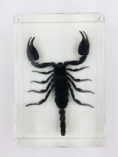 Real Giant Forest Scorpion Insect Specimens In Lucite Paperweight Large Block