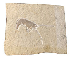 WOW!!!  VERY NICE Solnhofen Jurassic Shrimp Fossil! Beautiful Preservation!!