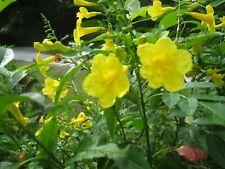 New listing 25 Organic Seeds Tecoma Stans, Esperanza Ornamental, Yellow Bells