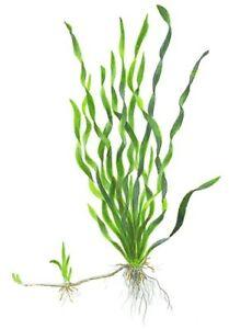 3 BEAUTIFUL TWISTED VALISNERIA REED PLANT, TALL, SHRIMP SAFE, TROPICAL PLANTS