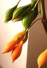 Baby PAPAYA  Carica quercifolia, 2 cm Mini Früchte, zuckersüß, Zimmerpflanze