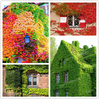 100 PCS Seeds Mix Colors Boston Ivy Creepers Green Grass Parthenocissus NEW X C