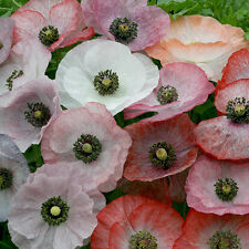 Kings semences-papaver-poppy nacre - 500 graines