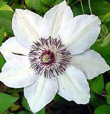 Clematis Waldrebe Miss Bateman - Weiß *Kletterpflanze