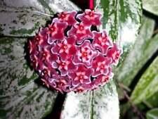 Hoya Pubicalyx Splash, Jungpflanze. Absolute Rarität! Sehr blühfreudig :-)!