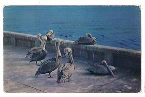 POD OF PELICANS Group  Concrete WALL Ocean Salt Water Birds Postcard No. 144