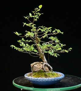 Bonsai Tree Root Over Rock Collected American Elm CAEROR-124A