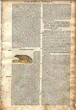 Stampa antica ERBARIO MATTIOLI MATTHIOLI CIVETTA LONTRA 1605 Old antique print