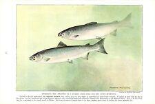Vintage Scarce Hashime Murayama Fish Print ~ Atlantic Salmon ~