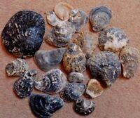 20 Flat Oyster Sea Shells Natural Beach Seashells Aquarium Decoration Craft