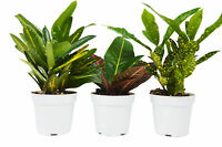 3 Croton Plant Variety Pack - All Different Species - FREE Care Guide