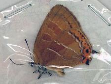 Lycaenidae/Lycaenidae sp - Kushiro, Hokkaido,Japan (LY01)