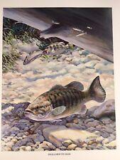 Smallmouth Bass Vintage Bob Hines Fish Art Print US Dept Of Interior 1972