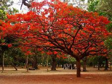 DELONIX REGIA  Flame of the forest tree - Bonsai 35 Seeds Bulk pkt