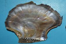 SEA SHELL - COQUILLAGES - ISOGNMONIDAE - ISOGNOMON EPHIPPIUM  - 93 mm
