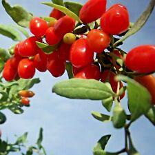 Garten GOJIBEERE die Wunderfrucht für Gesundheit und langes Leben