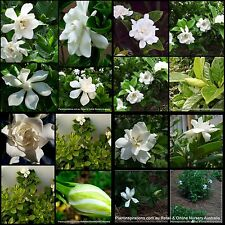8 Gardenia Plants 3 Types Scented Flowers White Cottage Garden Shade Shrub Hedge
