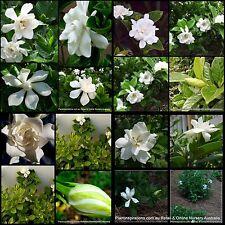 Partial shade evergreen bushy perennial flowers plants ebay 8 gardenia plants 3 types scented flowers white cottage garden shade shrub hedge mightylinksfo