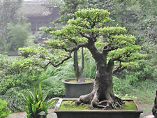 Bo Tree or Sacred Fig (Ficus religiosa) - 150 Seeds Bonsai or feature