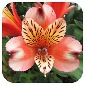 Alstroemeria Inca 'Husky' Jumbo Plug Plant Perennial Peruvian Lily