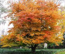 Parrotia persica Vanessa / Persian Ironwood Tree grown peat free in 3L container