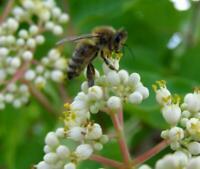 50 Seeds Bee Tree (tetradium daniellii, Euodia hupehensis), GOOD Bee Pasture