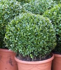 20 Samen Gewöhnlicher Buchsbaum (Buxus sempervirens), Hecke, schnittverträglich