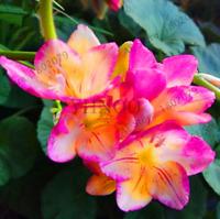 100 PCS Seeds Rare Geranium Plants Giant Bi Color Pelargonium Bonsai New 2019 N