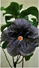 50pcs/bag hibiscus flower seeds giant hibiscus seed Black Magic Color