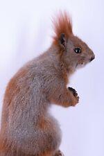 Taxidermy Squirrel Stuffed Hunting trophy Handmade Mammal