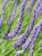 5 French Lavender Grosso - LAVANDIN x intermedia Grosso - 5 Live Perennial Plant