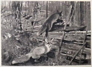 "Bruno Liljefors 1860-1934 Photogravure Groupil ""Foxes"" Copy. 1894 11.5"" x 14.5"""