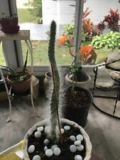 Established Old Man Cactus Soft No Prickley'S