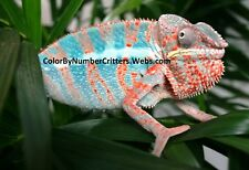 Hatch your own Chameleon Egg Live Lizard Reptile - Crixus