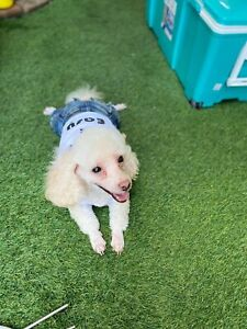 Genuine Doggy Dolly Denim Jeans All In One T-Shirt Puppy /Dog