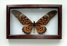 Papilio antimachus real Insect in big frame made of expensive wood