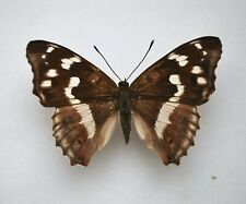 More details for purple emperor butterfly var insects/butterflies taxidermy