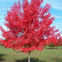 10PCS Japanese Maple Tree Acer Palmatum Red Maple Seeds Outdoor Park Yard Plant