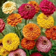 "Zinnia ""California Giant Mix25+ seed annual nectar plants in butterfly gardens,"