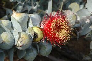 50 Eucalyptus macrocarpa Australian Bush Rose SEEDS