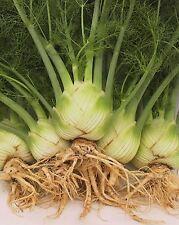 Vegetable - Fennel - Sweet Florence - 25g Seeds - Bulk