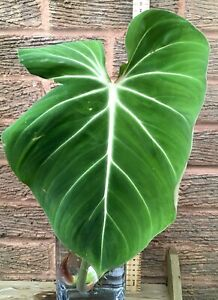 Philodendron GLORIOSUM Rare House plant CUTTING Extra Large Mature Leaves, Aroid