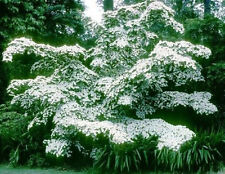 Cornus Kousa Chinensis Milky Way  - 15 Seeds - Korean Dogwood