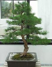 River oak tree / bonsai - Casuarina cunninghamiana 200 seeds