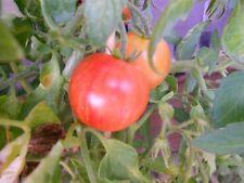 Tomate Tigerella Rot gestreift,Tomatensamen PORTOFREI