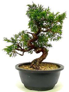 Superb Shohin Shimpaku Chinese Juniper Bonsai tree Material SB4 - excellent move