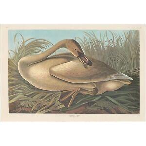 Audubon Amsterdam Ed Double Elephant Folio 1971 lithograph Pl 376 Trumpeter Swan